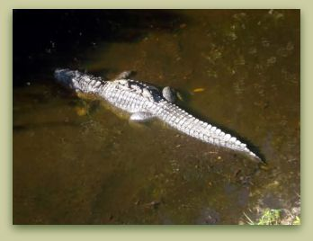 alligator-with-babies